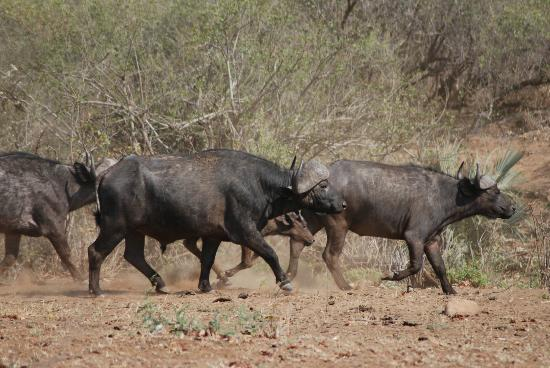 Mopani Rest Camp: Buffalo near camp