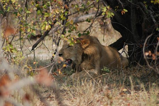 Mopani Rest Camp: Lion with snare