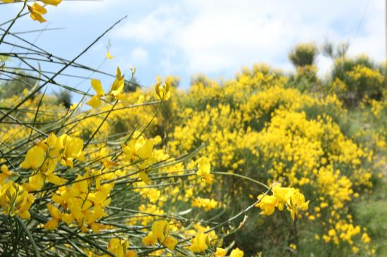 Fattoria Barbialla Nuova: Spanish broom