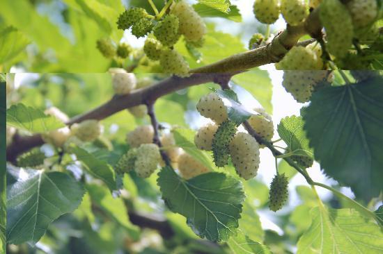 Fattoria Barbialla Nuova: mulberries