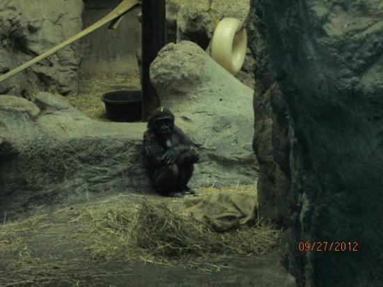 The Buffalo Zoo: Baby Gorilla