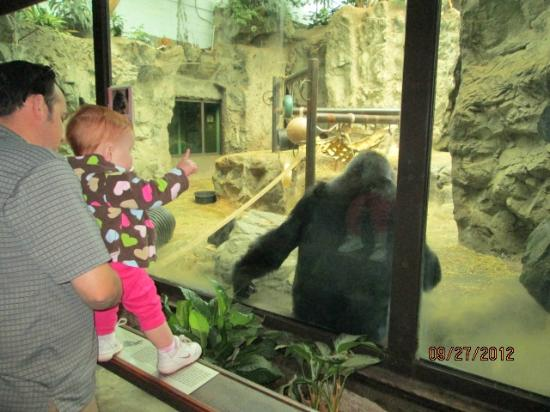 The Buffalo Zoo: gorilla exhibit