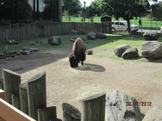 ‪‪The Buffalo Zoo‬: Bison