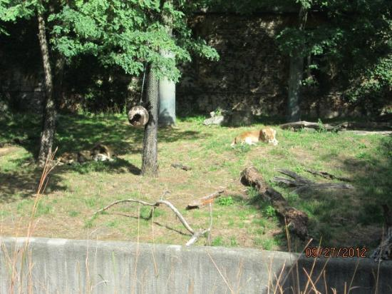 The Buffalo Zoo: Lions