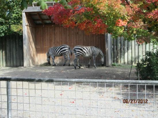 ‪‪The Buffalo Zoo‬: zebras