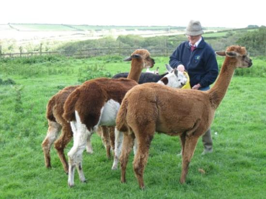 Mullacott Farm: The owner feeding his Alpacas