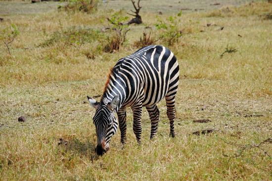 Full-Day Lake Manyara National Park Tour: Zebra