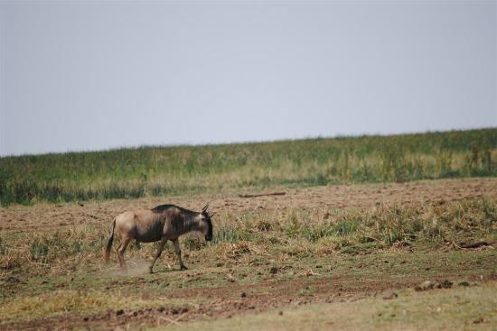 Full-Day Lake Manyara National Park Tour: Wildebeast