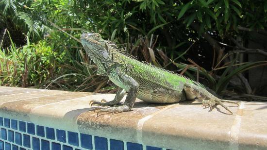 Divi Aruba Phoenix Beach Resort: Friendly Iguana's