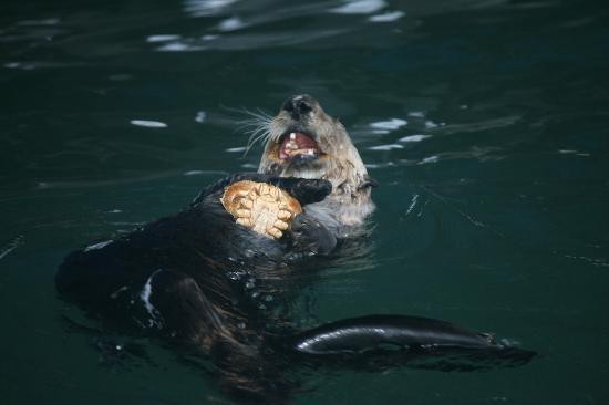 Cross Sound Express Whale Watching: Sea Otter with his morning Crabachinno