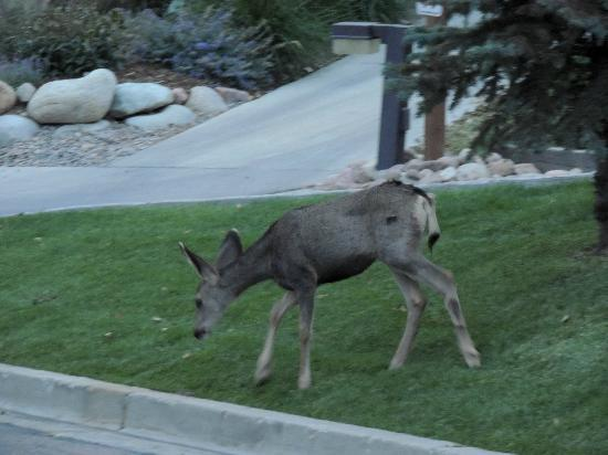 Cheyenne Mountain Resort: deer by parking area