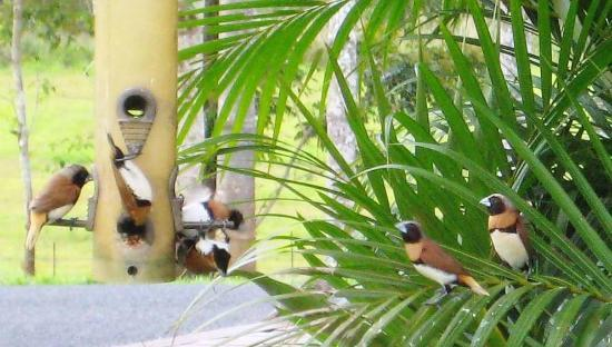 Mena Creek Eco Gardens: The Chestnut-breasted Mannikins feeding