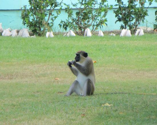 Oualie Beach Resort: Very common to see the monkeys around the grounds.