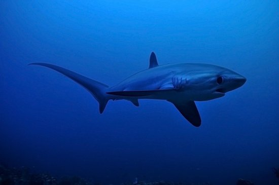 Malapascua Exotic Diving Center: Thresher Shark