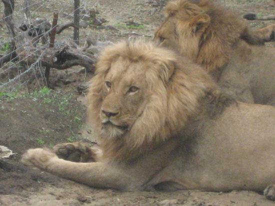 Amakhosi Safari Lodge: Surfer boy - Amakhosi lion