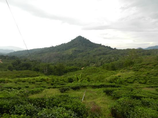 Sabah Tea Garden: The grounds in the distance