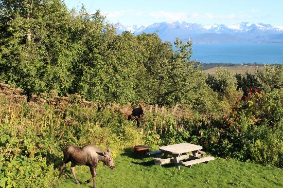 Maria's Majestic View Bed & Breakfast : moose from the balcony of the B&B