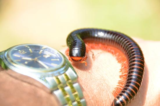 The Baobab - Baobab Beach Resort & Spa: Giant Millipedes