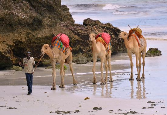 Baobab Beach Resort & Spa: Camels on Diani Beach.