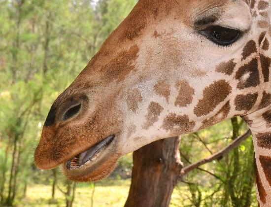 Baobab Beach Resort & Spa: Giraffe at Haller park