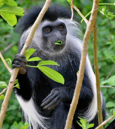 Baobab Beach Resort & Spa: Black & white Colobus Monkey at the Baobab.