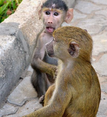 Baobab Beach Resort & Spa: Infant Baboons at the Baobab