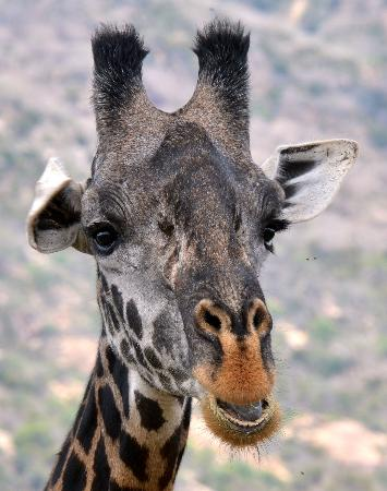 Baobab Beach Resort & Spa : Male Giraffe close-up.