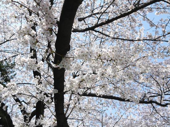 Asukayama Park: 桜