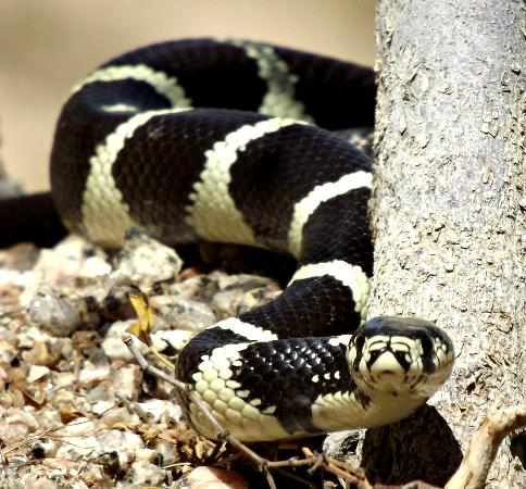 Scottsdale, AZ: Common king snake