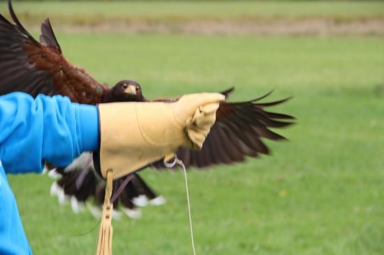 Green Mountain Falconry School: Harris Hawk coming back to the glove.