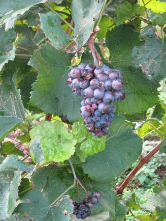 Relais Villa Sagramoso Sacchetti: grapes in the vineyard