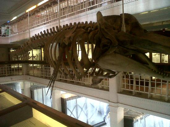The Manchester Museum: Whale Skeleton