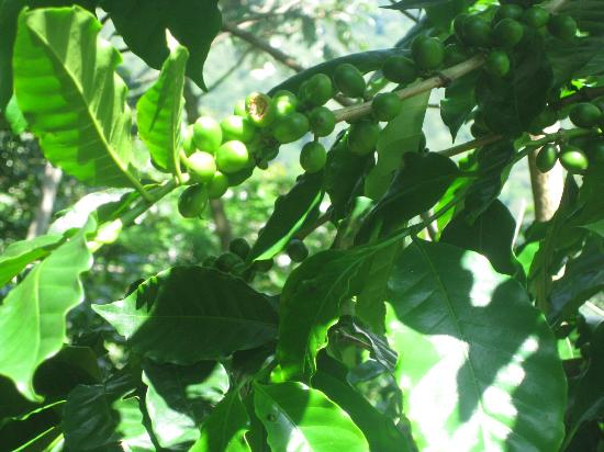 El Toledo Coffee Tour : Coffee beans