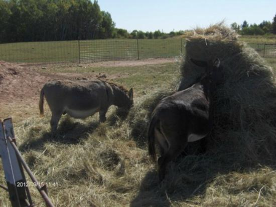 Second Wind Country Inn: Donkeys