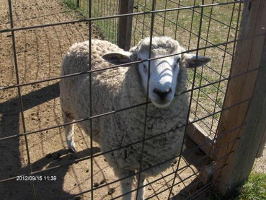 Second Wind Country Inn: Sheep