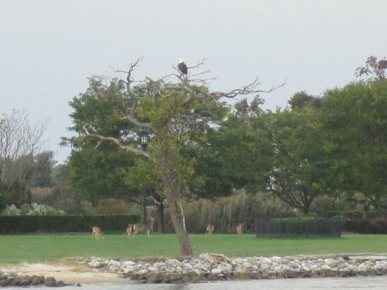 Blue Crab Chesapeake Charters : A bald eagle and deer
