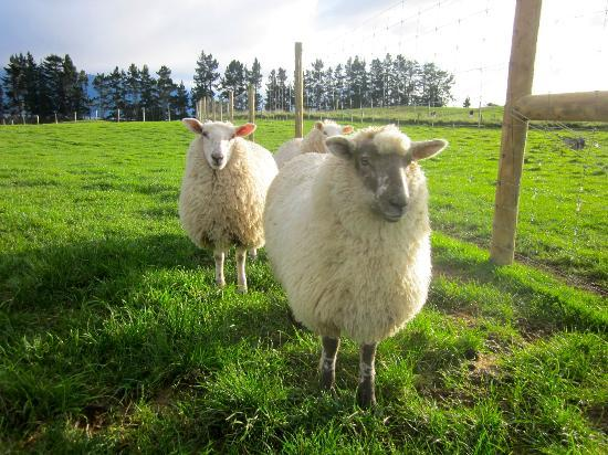 Dusky Ridges - Te Anau farmstay Bed and Breakfast: curious sheep