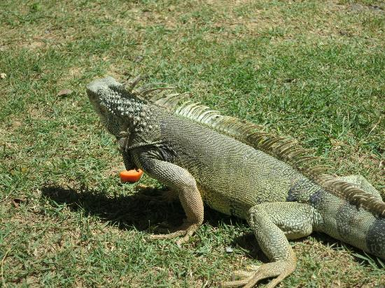 Wyndham Grand Rio Mar Puerto Rico Golf & Beach Resort: Iguana Feeding Time
