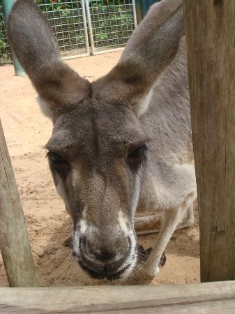 Busch Gardens Tampa: Kangaroo feeding