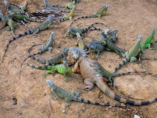 Bernard's Tours: Iguana hole