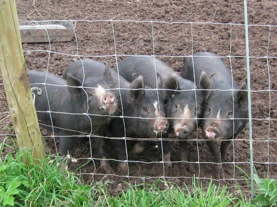 Blakelow Farm Holiday Cottages: Four playful piglets