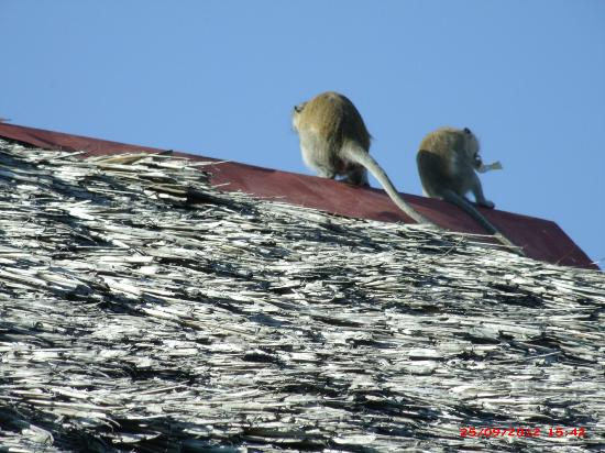 Voyager Beach Resort: Monkeys on parade!