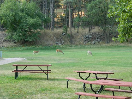 K Bar S Lodge: Deer in main yard