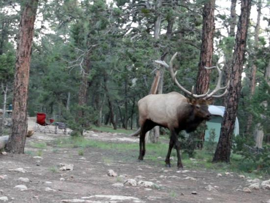 Mather Campground: Still frame from the video I got of this HUGE elk walking through our site!