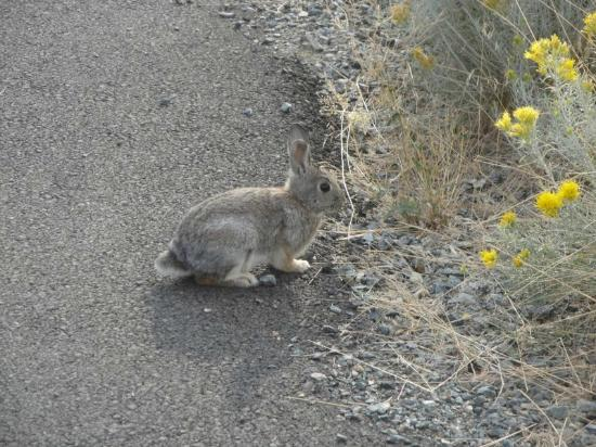 Baker City, OR : Bunny on the trail