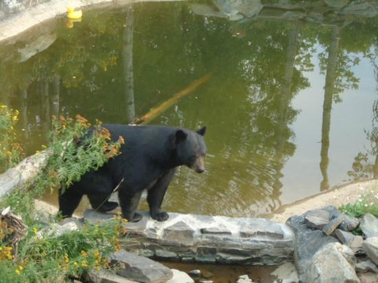 North American Bear Center: Bear