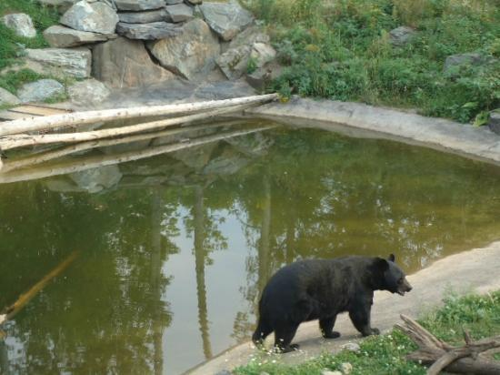 North American Bear Center: Black bears you can watch