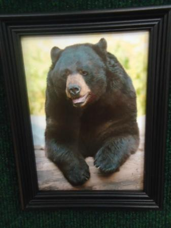 North American Bear Center : What a bear's senior picture would look like :)