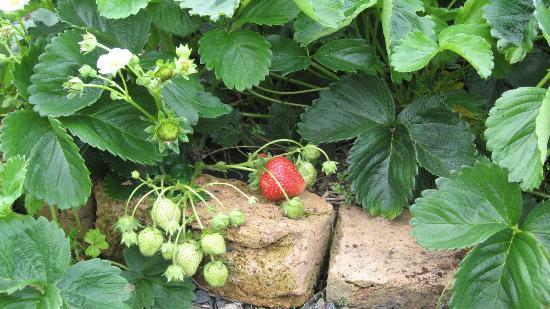 Blueberry B&B: Strawberries in the garden