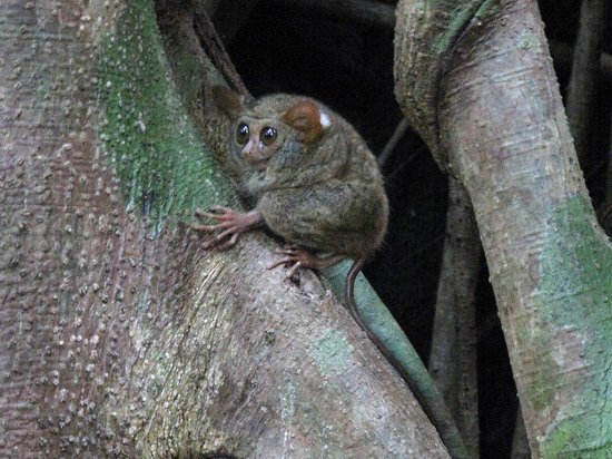 Tangkoko Nature Reserve, Indonesien: Tarsius Monkey's